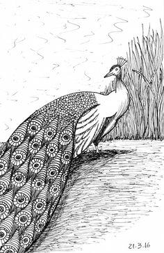 Desenho do Dia #27 - Pavão - Soraia Casal