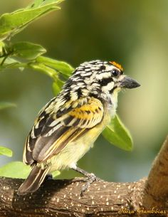 The Yellow-fronted Tinkerbird (Pogoniulus chrysoconus) is a small African barbet formerly known as Yellow-fronted Tinker Barbet. Barbets are near passerine birds with bristles around the base of the bill and a world-wide tropical distribution. The Yellow-fronted Tinkerbird is a widespread and frequently common resident breeder in much of Africa, south of the Sahara Desert.