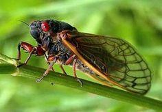 cicada1-300x209.jpg (300×209)