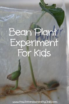 Bean Plant Experiment for Kids - Gardening With Kids {Weekend Links} from http://HowToHomeschoolMyChild.com