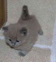 Cute Owlet And Sweet Kitten Become Best Friends At Coffee Shop - Owlet kitten meet coffee shop become best friends