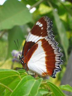 Hypolimnas Dexithea Butterlfly