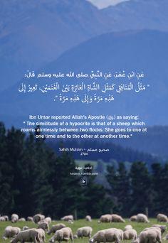 """عن ابن عمر رضي الله عنه، عن النبي صلى الله عليه وسلم قال: """" مَثَلُ الْمُنَافِقِ كَمَثَلِ الشَّاةِ الْعَائِرَةِ بَيْنَ الْغَنَمَيْنِ تَعِيرُ إِلَى هَذِهِ مَرَّةً وَإِلَى هَذِهِ مَرَّةً """". صحيح مسلم..."""