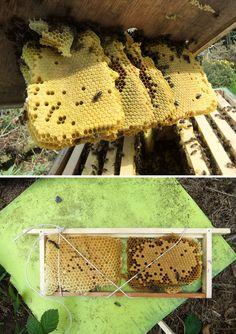 Beekeeping: tying 'Wild Comb' into empty frames