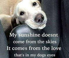 My sunshine doesn't come from the shoes it comes from the love in my dog's eyes. Love my golden retriever. Cute Puppies, Cute Dogs, Dogs And Puppies, Doggies, Baby Dogs, I Love Dogs, Puppy Love, Animals Beautiful, Cute Animals