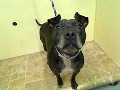 TO BE DESTROYED - 03/29/15 Manhattan Center My name is FIFI. My Animal ID # is A1031349. I am a spayed female black and white pit bull mix. The shelter thinks I am about 5 YEARS old. For more information on adopting from the NYC AC&C, or to find a rescue to assist, please read the following: http://urgentpetsondeathrow.org/must-read/