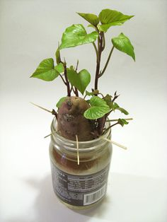 Grow Houseplants from Kitchen Scraps: Sweet Potato Vine by healthyhouseplants: Check out the link for plants from apples, citrus and pineapple! Also, how cute are sweet potato plants? Vegetable Garden, Garden Plants, Indoor Plants, Balcony Garden, Container Gardening, Gardening Tips, Organic Gardening, Indoor Gardening, Growing Sweet Potatoes