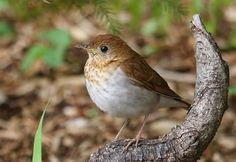 Wild Birds Unlimited: Veery: small brown thrush with a speckled throat