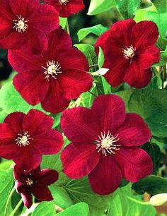 Flowering Clematis All Summer Long - Journal - Garden Design, Perennial Flower Gardening, Gardening Tips, Gardening Advice, Gardening Book Reviews