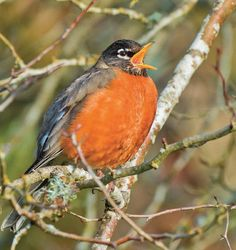 American Robin // Fascinating post on why songbirds sing!