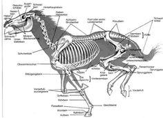 bear anatomy - Cerca con Google