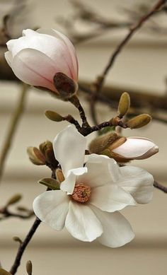 Magnolia. Our tree out front
