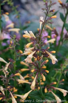'Summer Glow' hummingbird mint (Agastache) [July 1, 2014] at Hayefield.com - love this ones colors!