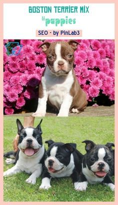 Franzosische Bulldoggen Boston Terrier Mix The Name Of The Boston Terrier Originates From You Got It Boston Die 15 Besten In 2020 Terrier Boston Terrier Terrier Mix