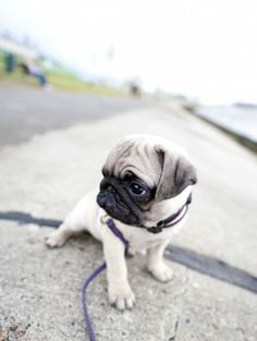 Advice on Training Your New Pug Puppy  http://www.babypugs.net/pug-articles-2/advice-on-training-your-new-pug-puppy/
