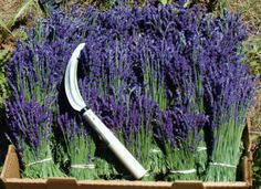 lavender plants- I believe my husband will be growing some for me this season. :)
