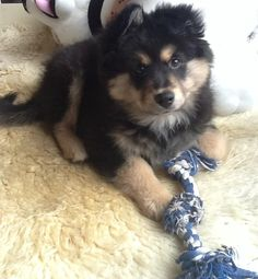 Loki, my Finnish Lapphund at 3 months old. So cute!