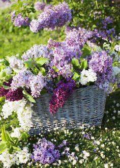 Purple Flower Arrangements, Hydrangea Colors, Hydrangea Flower, Blue And Purple Flowers, Lilac Flowers, Beautiful Flowers, Black Roses, Red Roses, Purple Things