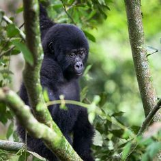 Photo by @erickruszewski - A young mountain #gorilla peers through brush in the #Bwindi Impenetrable Forest of #Uganda. by natgeotravel