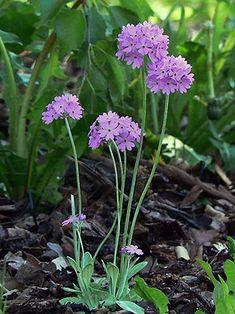 Jauhoesikko, Primula farinosa - Kukkakasvit - LuontoPortti