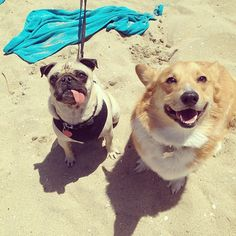 A pug showed up to Corgi Nation and wasn't completely outcasted because corgis are chill and accepting. Corgi Pug, Pugs, Funny Animals, Cute Animals, Funny Pets, French Dogs, Pug Pictures, Pug Love, Mans Best Friend