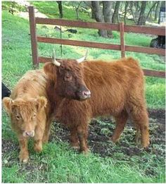 10 Miniature Cattle Breeds for a Small Farm. I really love the Highland cattle (pictured), but the other breeds are sweet, too. Miniature Highland Cattle, Miniature Cow Breeds, Miniature Cows, Mini Cows, Mini Farm, Small Cow, Small Farm, Zoo Animals, Cute Animals
