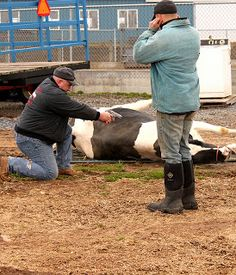 How to Butcher a Cow – Very Graphic – Be Warned » The Homestead Survival