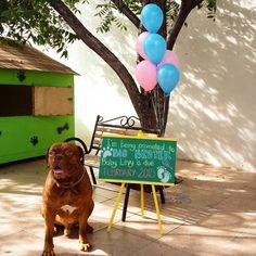 pregnancy announcement dog. Dogue de Bordeaux!