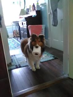 Sheltie Sunday, Shetland Sheepdogs Photos) Shelties are a very loving and super smart breed they super cute! Hope you have a happy Sheltie Sunday Cute Puppies, Cute Dogs, Dogs And Puppies, Doggies, Collie Puppies, Sheep Dog Puppy, Dog Cat, Shetland Sheepdog Puppies, Herding Dogs