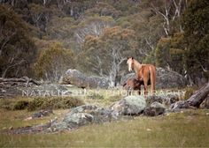 Did you ever see the movie 'The Man from Snowy River'? Did you cry when Jim  Craig (Tom Burlinson) tore down the mountain on horse back chasing after  the wild Australian Brumbies. I did, like a thousand times! As I child, I  grew up listening to tales of the Wild Brumbies, totally getting lost in  their magic and mystery. Now that I am all grown up I literally get to  chase my dreams!  'The Lonely Mare' - Natalie Buck Photography    I have been traveling and professionally photographing…