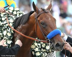 Triple Crown winner American Pharoah with the garland of white carnations around his neck after winning the Belmont Stakes. American Pharoah's sire, Pioneer of the Nile ran second in the 2009 Kentucky Derby to Mine That Bird. Clydesdale, Appaloosa, Beautiful Horses, Animals Beautiful, Pretty Horses, Beautiful Things, Mustang, The Belmont Stakes, Preakness Stakes