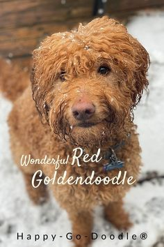 Get the 4-1-1 on the red Goldendoodle from a dog mom who's Goldendoodle obsessed and a research hound.