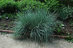Blue Oat Grass (Helictotrichon sempervirens) at Minor's Garden Center