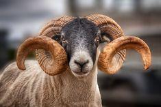 Horns+-+Sheep!