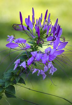 ~~Cleome ~ Spider flower by Cindy Dyer~~ I love cleomes they are the backbone of my garden. They always come back .