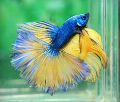 Beautifu colors of the Blue Yellow Dragon fish. What they've bred into Bettas now is just amazing! Makes me want to keep fish again! Barb M. Betta Fish Types, Betta Fish Care, Pretty Fish, Beautiful Fish, Beautiful Cats, Colorful Fish, Tropical Fish, Poisson Combatant, Dragon Fish