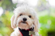 Carlton is an adoptable Maltese Dog in Sherman Oaks, CA. YOU CAN'T GET ANY CUTER THAN CARLTON!! HE NEEDS TO BE PLACED WITH HIS MOTHER LOLA, they cannot be separated. Carlton was abandoned in an apartm...