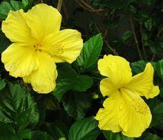 Yellow Hibiscus. Kinoole Street. Hilo, Hi.