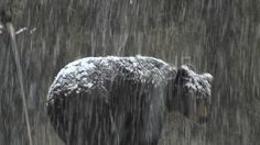 The brown bear walking in snow at forest winter ~ Clip Brown Bear, Stock Footage, Cow, Walking, Winter, Animals, Winter Time, Animales, Animaux