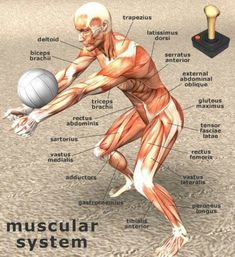Other- Volleyball is great for the muscular system. The biceps brachii,tensor fascia latae,trapezius,and triceps brachii muscles are used for this activity. Volleyball Training, Volleyball Skills, Volleyball Workouts, Coaching Volleyball, Volleyball Players, Beach Volleyball, Volleyball Quotes, Volleyball Team Pictures, Volleyball Motivation
