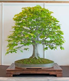 Fagus Sylvatica Bonsai