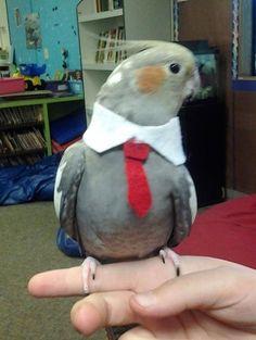Cockatiels also look dapper in evening wear. Cuteness factor times ten! My Soren needs one of these.