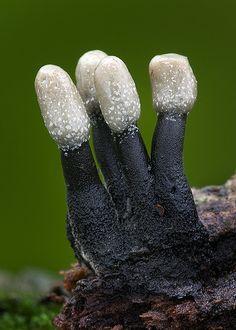 Holwaya mucida fungi ~ By shimie