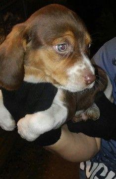 Beagle dog for Adoption in UNION GROVE, AL. ADN-59322 on PuppyFinder.com Gender: Male. Age: