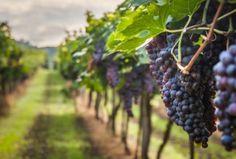 Assicurazioni vino, domande entro il 10 agosto - Foglie TV
