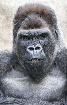 This guy was clearly in charge is part of Mountain gorilla - Silverback Gorilla, Chimpanzee, Tier Zoo, Los Primates, Gorillas In The Mist, Animals And Pets, Cute Animals, Mountain Gorilla, Power Animal