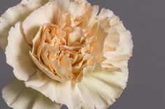 The Putumayo Carnation is a gorgeous champagne colored carnation, grown in Ecuadorian soil by Royal Flowers Ecuador. Features high petal count, long vase life and top quality.