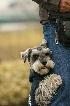 Miniature Schnauzers are 4th most lovable dog breed.  Reminds me of Porsche                                                                                                                                                      More