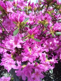 Azaleas produce a spectacular display of colors in early spring.  Many have medium green leaves turning yellow, orange and red in the fall.  They are an acid loving plant.  Hummingbirds love the flowers.  Many azaleas work great for hedges or mass plantings.