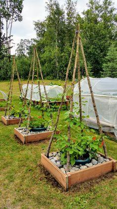 Scarlet Runner beans on my bean tipi's Garden Yard Ideas, Garden Crafts, Lawn And Garden, Garden Projects, Farm Gardens, Outdoor Gardens, Garden Trellis, Bean Trellis, Vegetable Garden Design